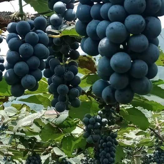 紫云苗族布依族自治县 刺龙紫珠葡萄量出来的白酒是地道的白兰地