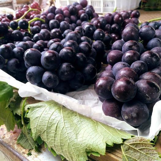 周口蓝宝葡萄 5%以下 1次果