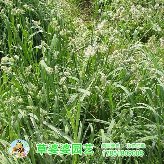 沭阳县鸭茅种子 鸭毛草猫尾草种子新种了包邮