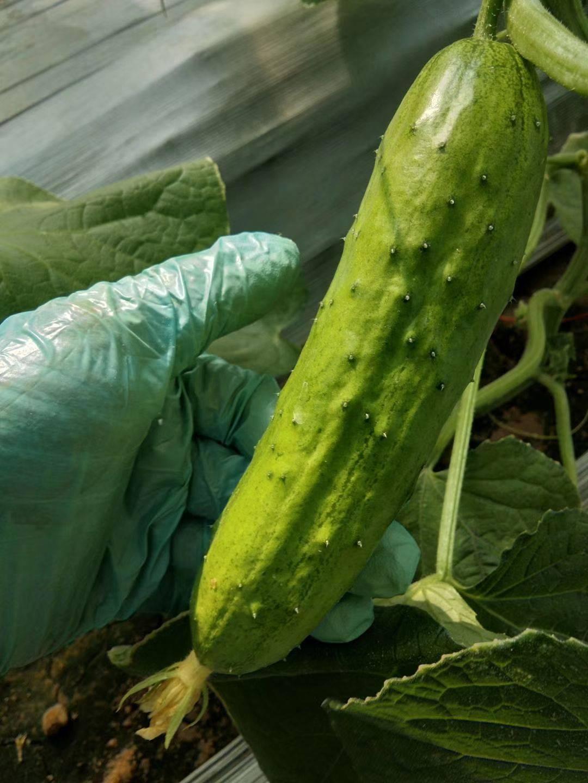 翠玉黃瓜 15~25cm