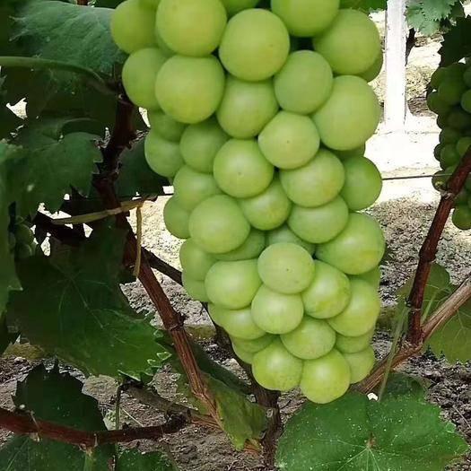 嘉兴醉金香葡萄 2斤以上 5%以下 1次果