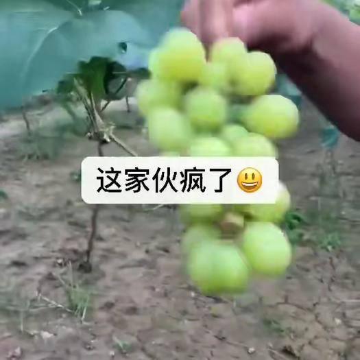 大荔县 阳光玫瑰葡萄