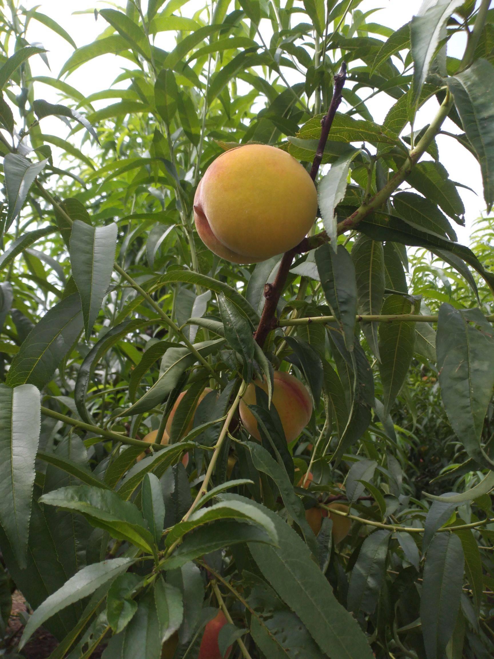 金童9号黄桃 70mm以上 4两以上