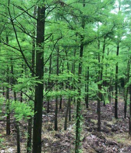 益陽南縣 水杉樹苗基地直銷,成活率高,規格齊全