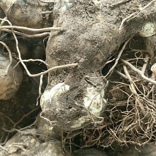 思茅孟连傣族拉祜族佤族自治县 黄精苗,块茎大量出售