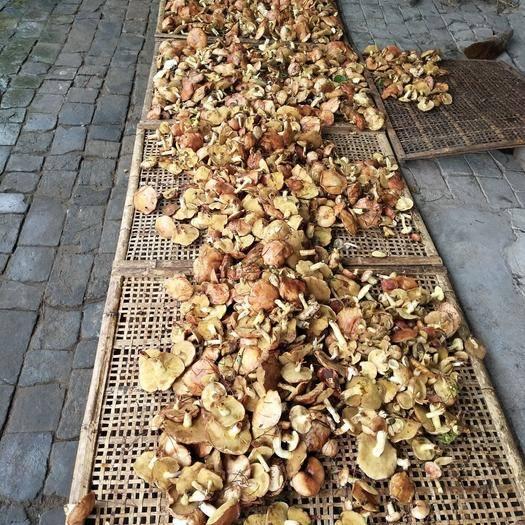 河北省承德市平泉市松蘑 下雨天这蘑菇还这么多