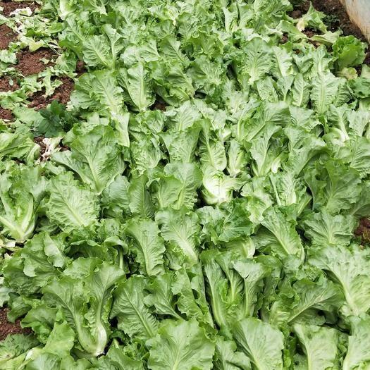 嵩明县青油麦 各种蔬菜供应