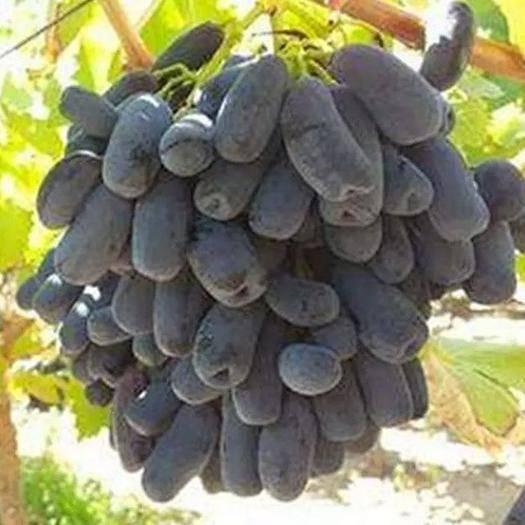 长治 蓝宝石葡萄