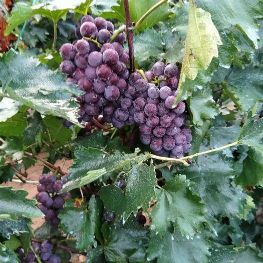 玉田县140葡萄 大量现货供应,欢迎客商前来采购