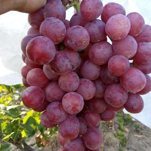 大荔县 红提葡萄大量供应