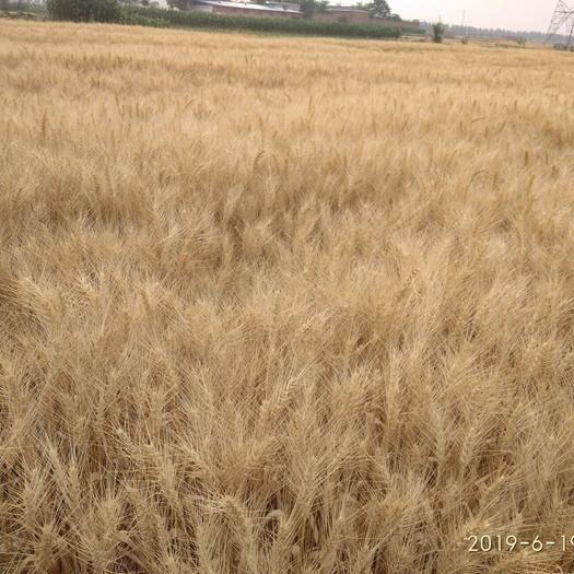 邢臺任縣小麥種子 春小麥,105天成熟,高產優質,不影響種下茬玉米。