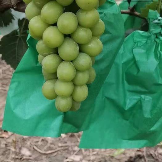 晋州市阳光玫瑰 1.5- 2斤 5%以下 1次果