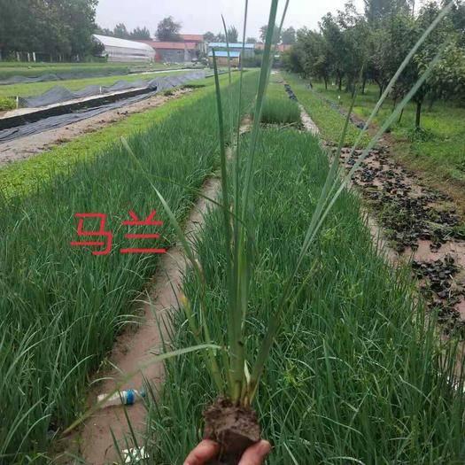 濰坊青州市馬蘭花