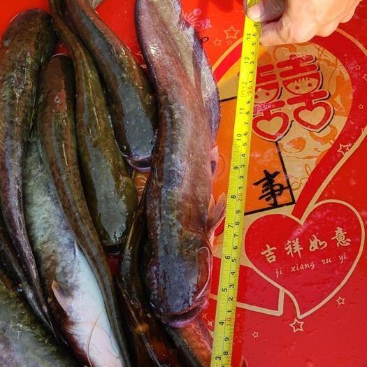周口淮阳县翘嘴红鲌 一斤打底的翘嘴每天500斤