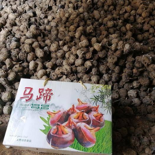 韶关乐昌市马蹄香苗 桂3马蹄种苗,个大厚实