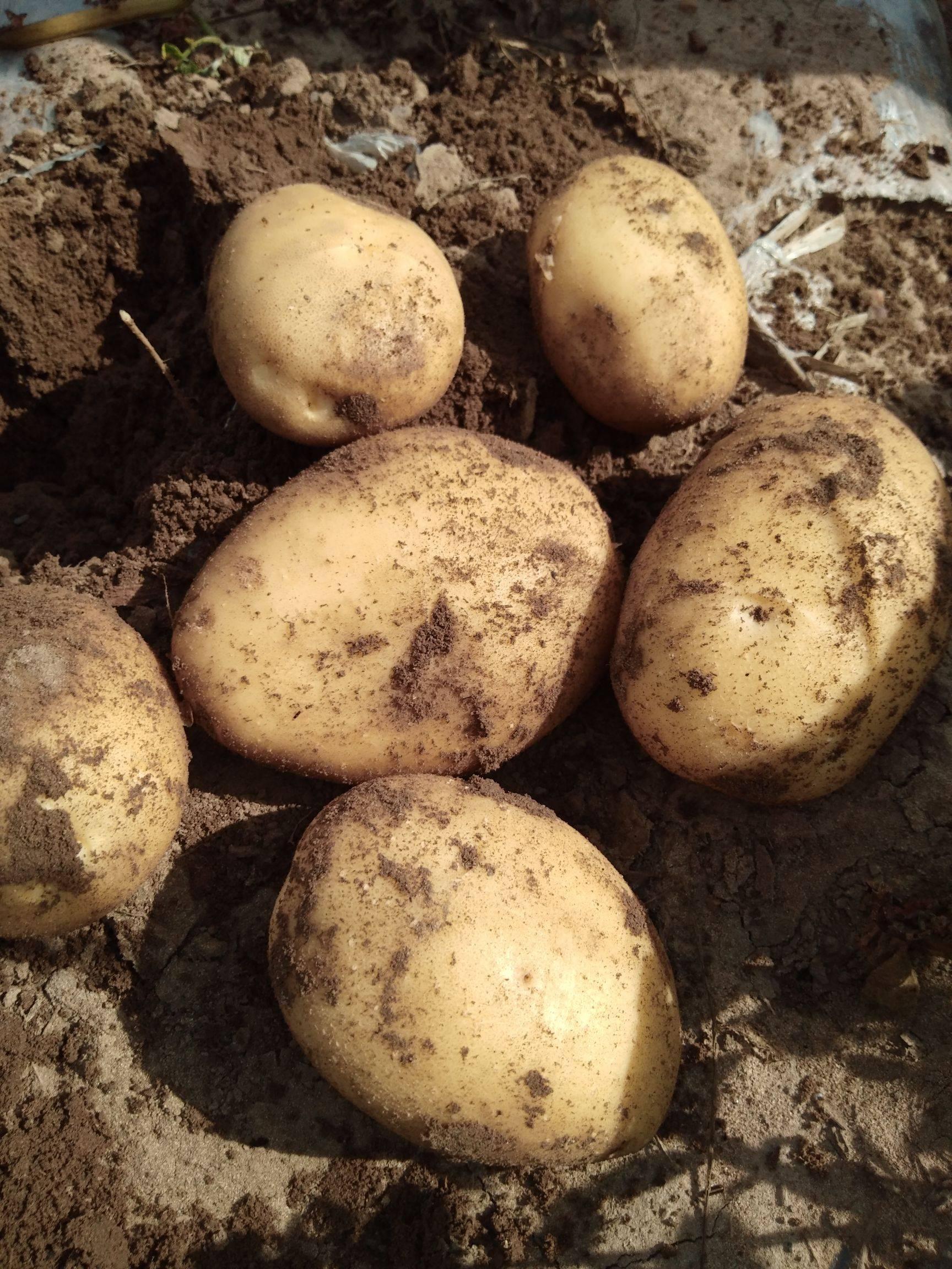 尤金885土豆 尤金885  沙土地