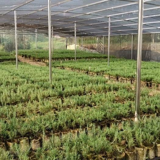 四川省泸州市泸县 迷迭香盆栽,迷迭香幼苗