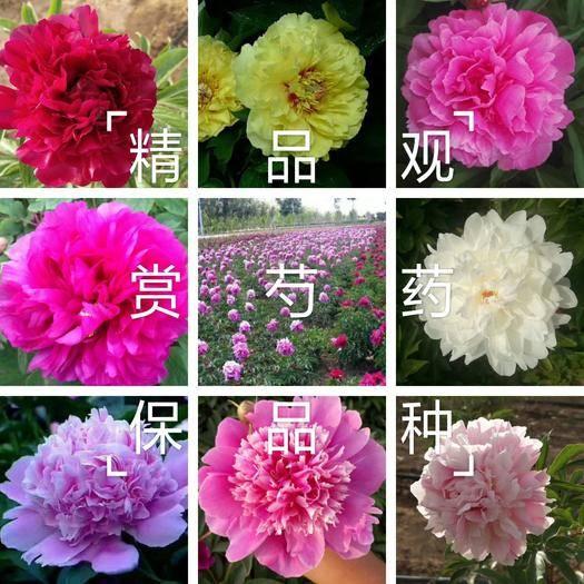 菏澤牡丹區 觀賞多花芍藥,多層花,保品種保成活,保證質量,現要現挖