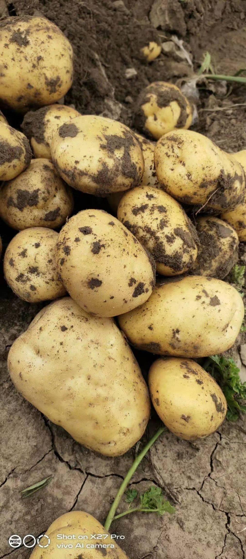 荷兰15号土豆 荷兰 严暑 杠三七系列代办代发
