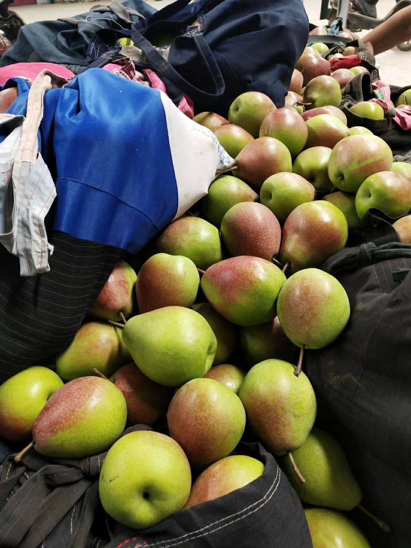 红香酥梨 电商,微商,批发商,的理想货源地,口感绝佳以假乱真库尔勒香