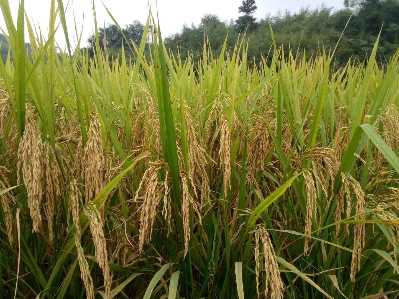 象牙粘 中稻/一季稻