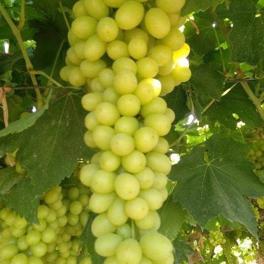 哈密 新疆哈密无核白葡萄