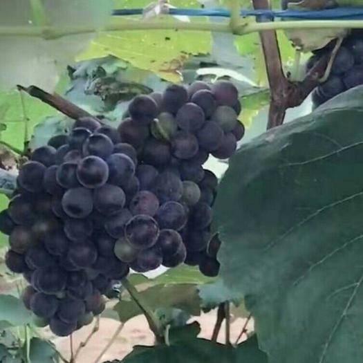 凌海市 加工厂葡萄