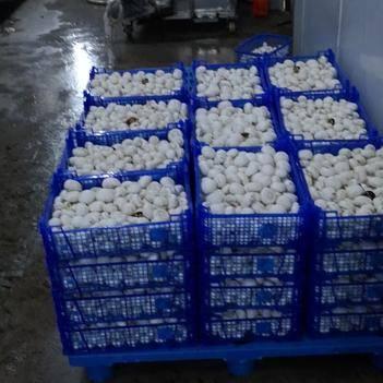 双孢菇 厂家直销,价格优惠