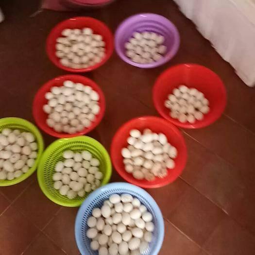 河源和平縣 供應白鴿子蛋/肉鴿子蛋/鮮鴿蛋