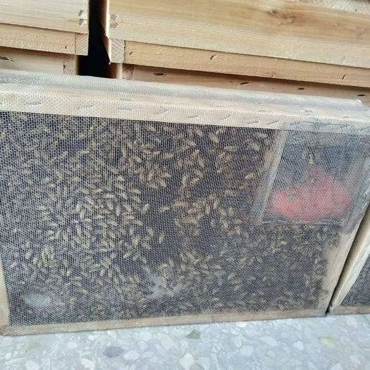 玉林容县中蜂 笼蜂