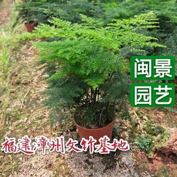 文竹 地栽苗盆栽裸根苗福建漳州基地裸根可以包邮