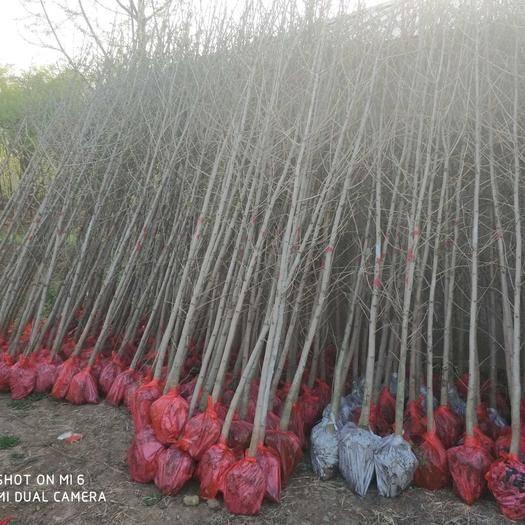 徐州邳州市 銀杏樹 銀杏實生樹 2米以下銀杏高度苗 0.15元一棵起