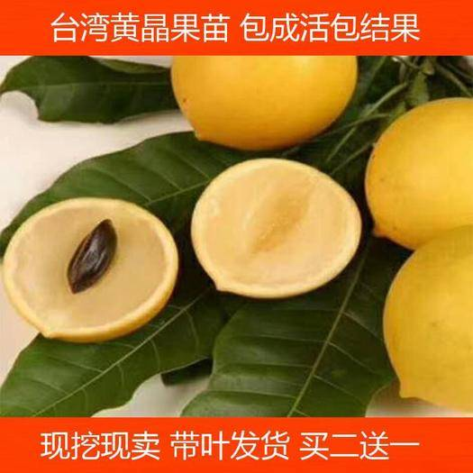 钦州灵山县 台湾黄晶果苗 四季黄金果树苗 果南方种植加蜜蛋黄果树苗