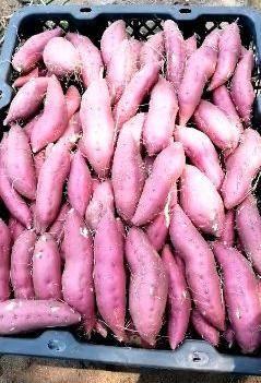 天目小香薯 海南全沙地种植表皮光亮 粉甜香