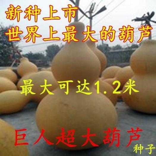 邵东县 巨型酒葫芦种子50粒/包