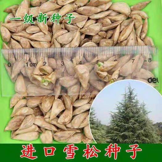 平邑县 雪松种子  印度雪松  新采摘种子