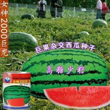 特大西瓜种子女神2000巨龙高产中晚熟长椭圆形皮薄高糖少籽
