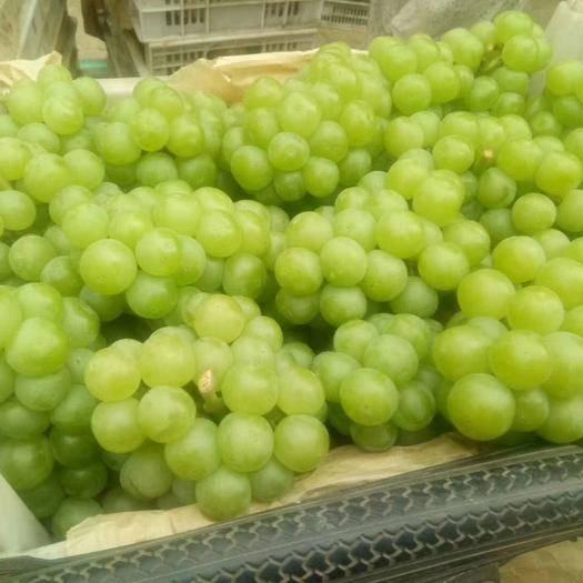 邯郸 青无核葡萄大量上市,价格低,适合做葡萄罐头和加工果脯果酱。