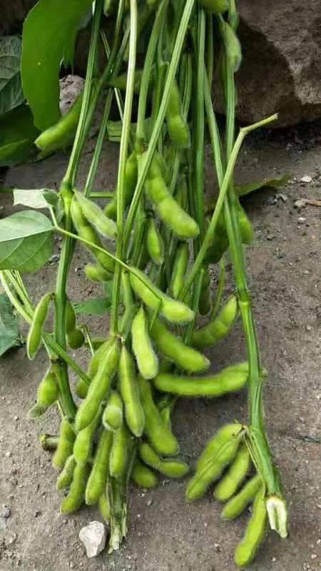 绿宝石毛豆 农户直销,一手货源量大,量大价格从优,服务好,不少量