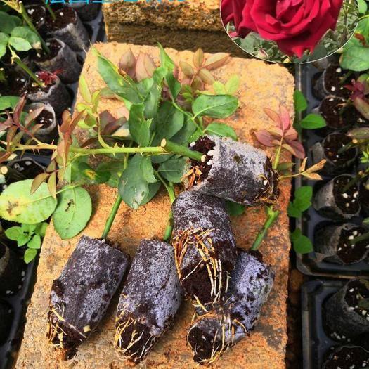 昆明呈貢區 玫瑰苗 食用玫瑰花 法國墨紅玫瑰苗15-25公分扦插苗