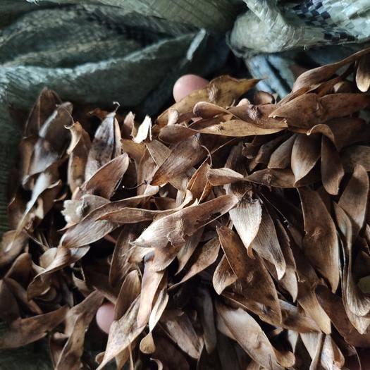 汝阳县臭椿种子 今年新种子