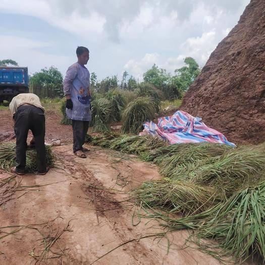 云南省红河哈尼族彝族自治州元阳县香茅草 现在大量现货供货,需要的老板来聊聊
