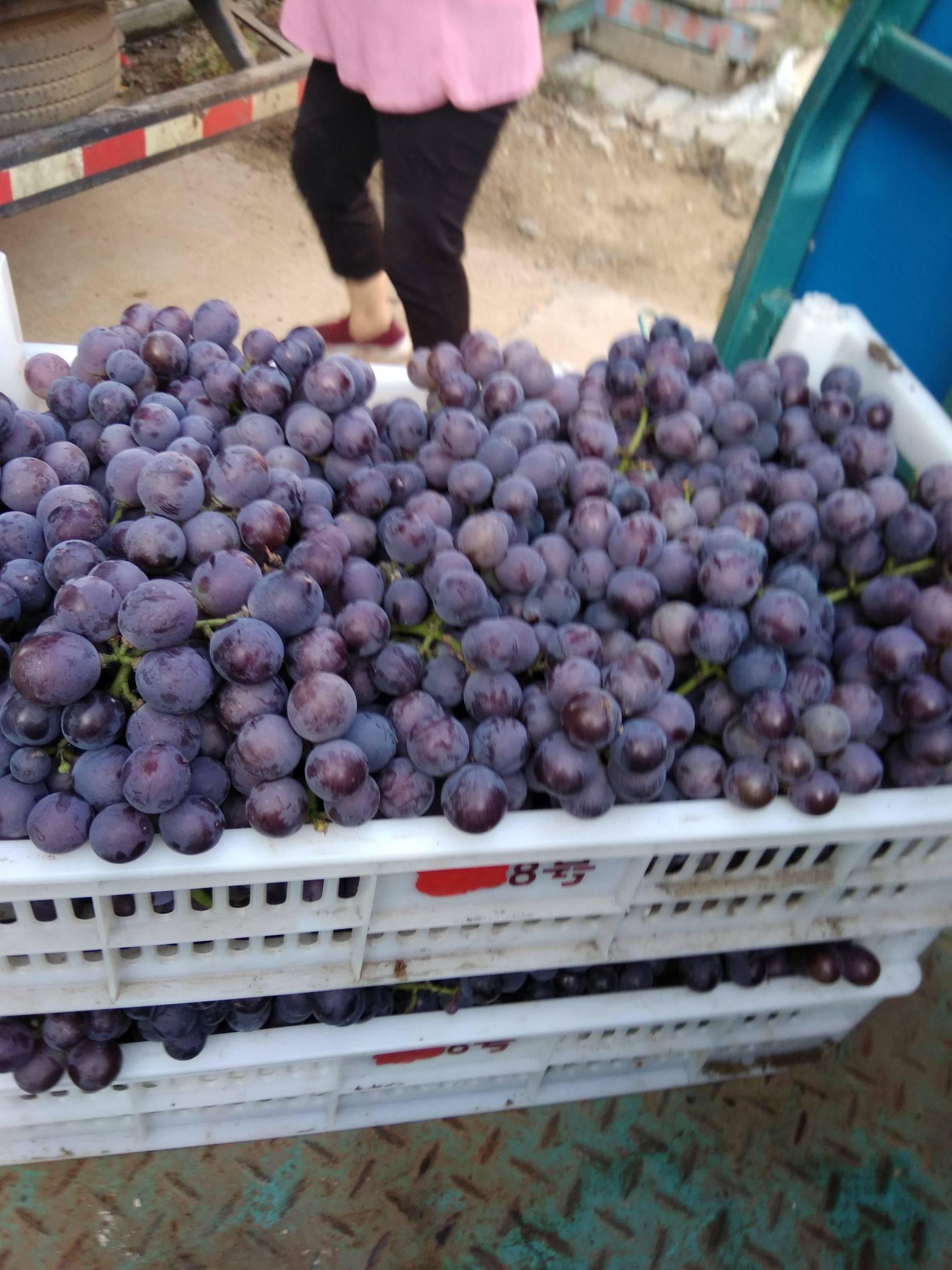 巨峰葡萄太量上市,全套代无公害,特甜颗粒大,串型好.