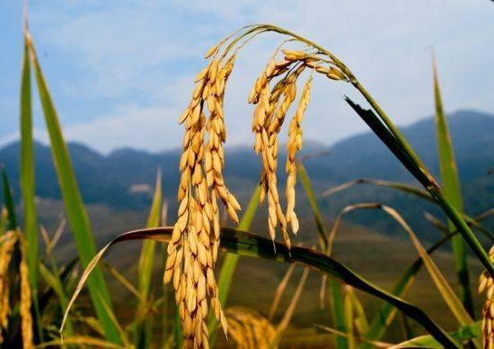 杂交稻 江西晚稻预订中,还差两个月左右就可以收割,保质保量