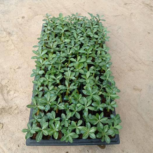 廣州荔灣區沙漠玫瑰 苗圃直供優質單瓣苗 室內盆栽多肉植物