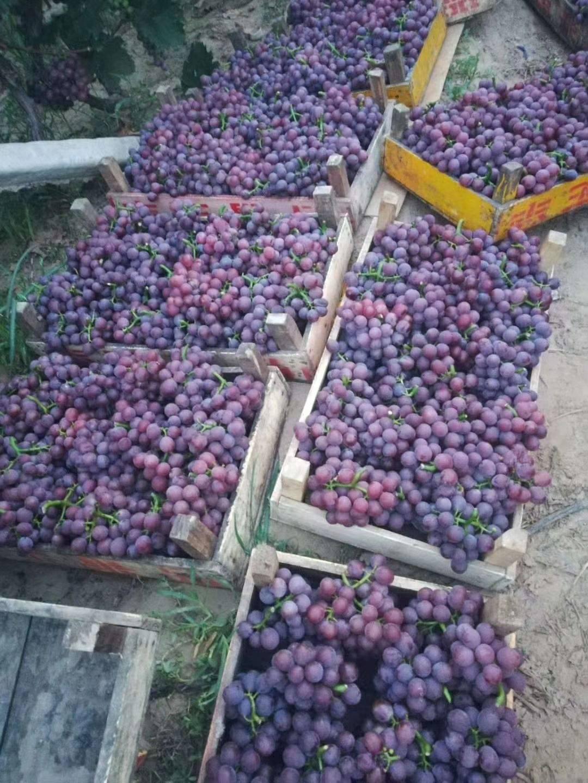 河北威县巨峰葡萄大量上市