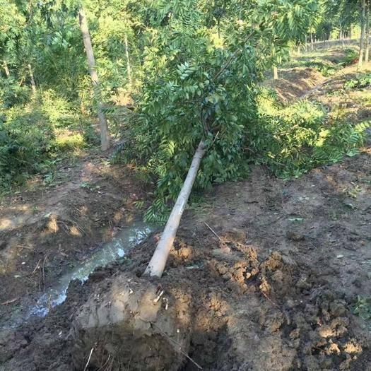 沭陽縣 沭陽大型欒樹種植基地大量銷售中,生長旺盛姿態優美