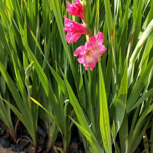 潍坊青州市鸢尾苗 鸢尾 菖蒲 品种多 露天 杯苗 绿化用苗 量大优惠
