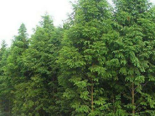 益陽南縣 水杉普通水杉水杉樹苗基地直銷成活率高水杉2-20公分