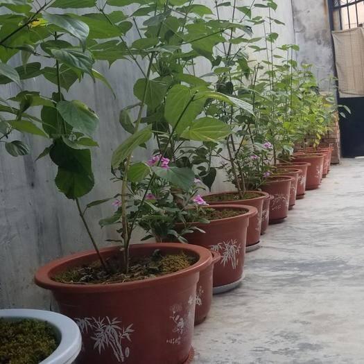 西安长安区豆腐柴苗 豆腐柴盆栽树1~5年树型